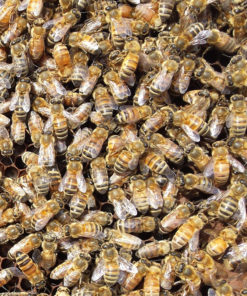 Live Bees 247x296 - Carniolan Marked Queen