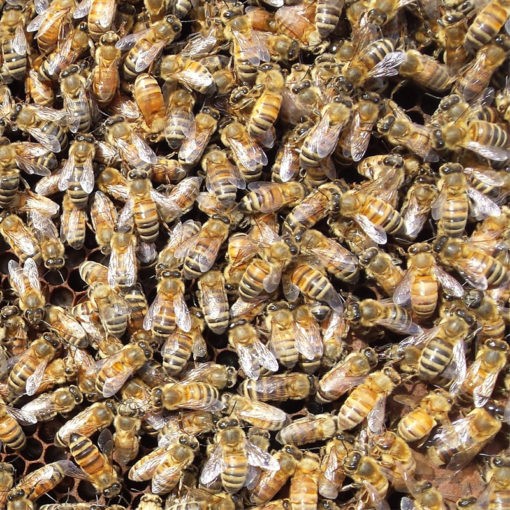 Live Bees 510x510 - Carniolan Marked Queen