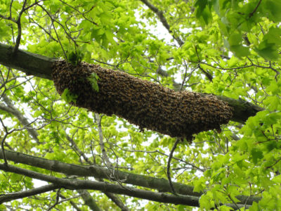 wild bee swarm 400x300 - Gallery